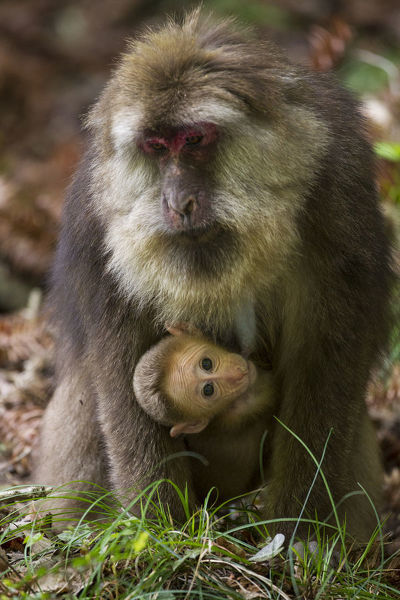 Tibetan macaque (Macaca thibetana) carrying young baby, Tangjiahe Nature Reserve, Sichuan Province, China