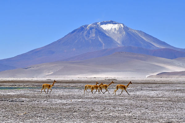Vicuna (Vicugna vicugna), five running across salt flat with mountain in background. Salar de Ascotan, Chile. September 2018