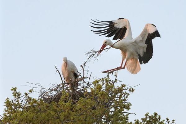 White stork (Ciconia ciconia) male landing with nest material and joining his mate on their nest in an Oak tree at sunset, Knepp estate, Sussex, UK, April 2019