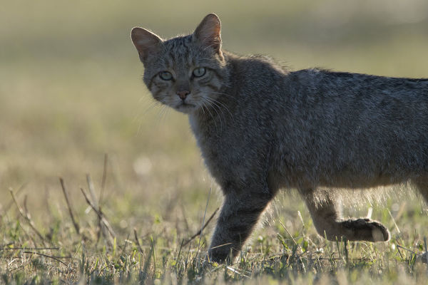 Wild cat (Felis silvestris) walking, Vosges, France, June