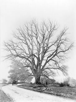 The Fyfield Elm CC73_00468