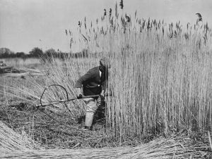 Harvesting Norfolk reed