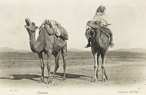 Camels sharing a private joke, Algeria