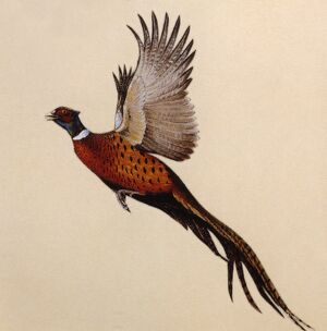 A Common Pheasant alarmed