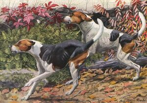 English Foxhound and American Foxhound