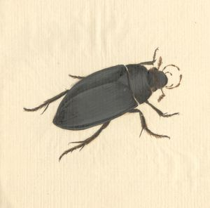 Hydrophilus piceus, great silver water beetle