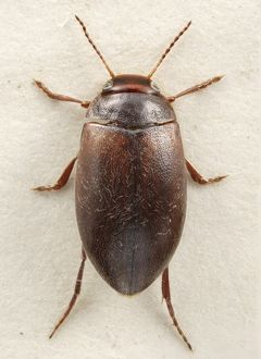 Hydroporus rufifrons, diving beetle