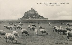 Mont Saint Michel, France - Sheep Grazing on salt meadows