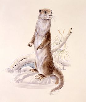 Otter standing on hind legs