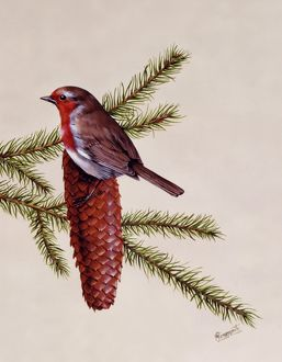 A Robin perched on a large fir cone