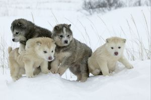 Arctic / Siberian Husky - litter of four puppies in snow.
