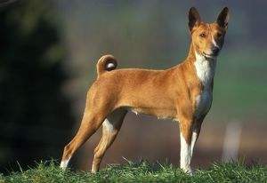 Basenji / Congo DOG - standing, side view