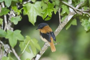 Black-and-orange / Black and Rufous Flycatcher - Inhabits evergreen forests and moist thickets in ravines. Endemic to the Western Ghats