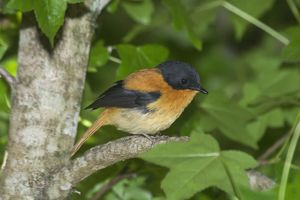 Black-and-orange / Black and Rufous Flycatcher Inhabits evergreen forests and moist thickets in ravines. Endemic to the Western Ghats