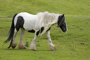 Black and white piebald horse trotting
