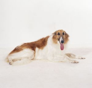 BORZOI DOG - TONGUE OUT