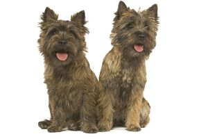 Cairn Terrier - two
