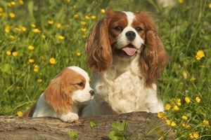 Cavalier King Charles Spaniel Dog - adult and puppy, in buttercup field