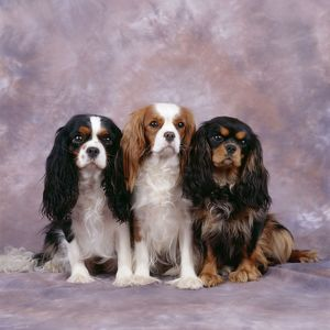 Cavalier King Charles Spaniel Dog - three in line, showing different coat shades