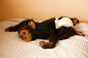 CHIMPANZEE - lying on bed at Orphanage / Nursery for young chimpanzees