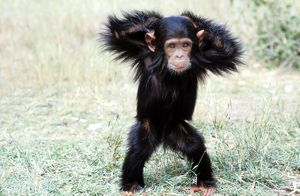 Chimpanzee - young, with arms on head