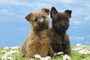 Dog - 8 week old Cairn Terrier puppies