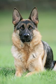 DOG - Alsatian / German Shepherd