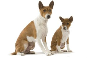 Dog - Basenji - adult and puppy