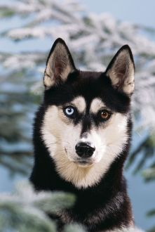 DOG - close-up of Siberian Husky with odd-coloured eyes and snowy Fir tree