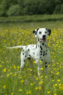 DOG - Dalmatian standing in buttercup field