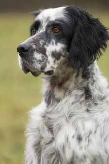 Dog - English Setter Bicolor