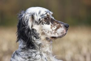 Dog - English Setter on field
