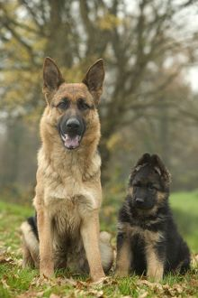 Dog - German Shepherd / Alsatian - Adult sitting down with pup