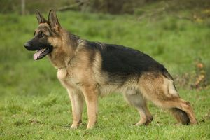 Dog - German Shepherd / Alsatian - In field