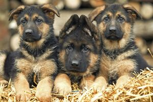 Dog - German Shepherd - three puppies