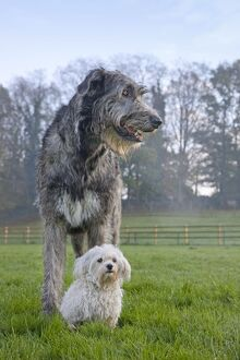 Dog - Irish Wolfhound with Maltese dog