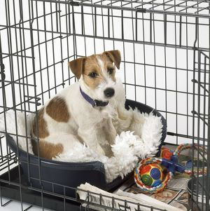 DOG - Jack Russell Terrier in Dog Cage