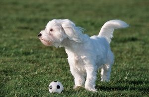 Dog - Maltese / Bichon Maltaise- playing with football in garden