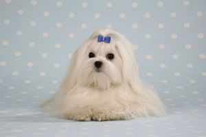 Dog - Maltese / Bichon Maltiase, lying on blue and white spotted material, wearing hair ribbon