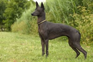 DOG - Mexican Hairless, standing, side view