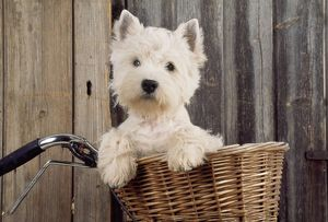 DOG - West Highland White Terrier - in bicycle basket