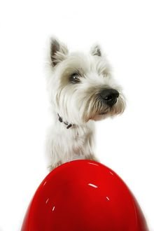Dog - West Highland White Terrier by bowl