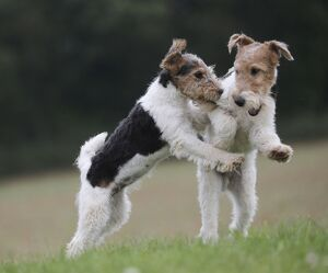 Dog - Wire-haired / Wirehaired Fox Terrier puppies
