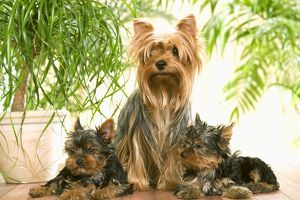 Dog - Yorkshire Terrier - adult with two puppies