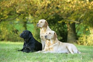 Dogs - Black and Yellow Labrador Retrievers lying down on grass
