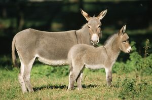 DONKEY - Foal with mother