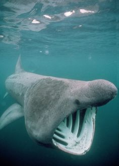 DSE-12 BASKING SHARK - MOUTH OPEN