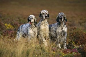 ENGLISH SETTER DOGS - three in row