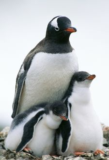 GENTOO PENGUIN - adult with two chicks