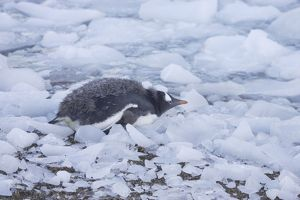 Gentoo Penguin - Chick on icy shoreline
